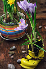 Crocus in astylish yellow shoe