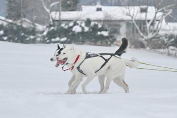 Zwei Huskies - Schlittenhunde