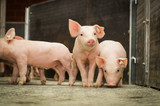 Schweinestall - neugierige Ferkel laufen im Stallabteil im - 80805208