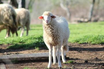 agnello 2