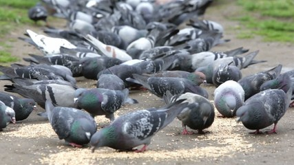 Pigeons eating in the park
