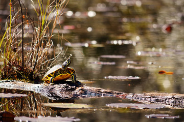 Slider turtle sitting on a log in the swamp.