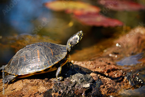 Foto op Canvas Schildpad Turtle sitting on a log in the swamp.