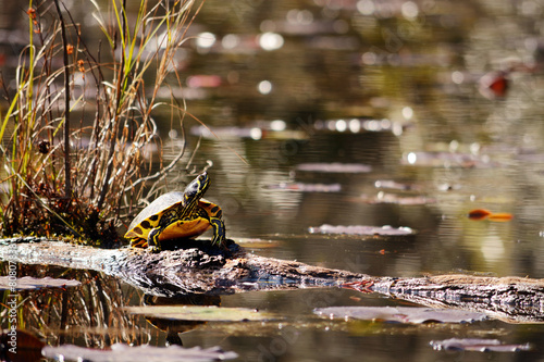 Papiers peints Tortue Slider turtle sitting on a log in the swamp.