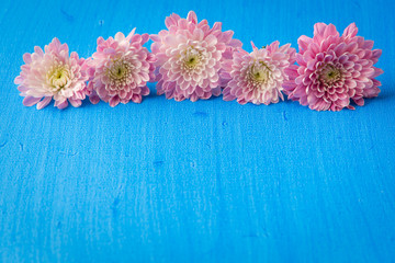 Pink mum (chrysanthemum) flowers on blue textured canvas backgro