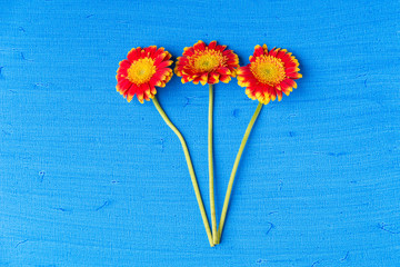 Three gerbera daisy flowers on blue textured canvas background