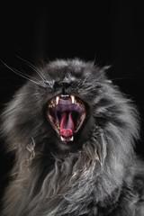 Persian cat yawning