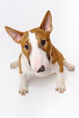 Portrait of sitting dog breed bull terrier on white background