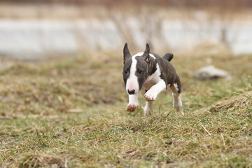 Miniatur Bull Terrier auf der Wiese