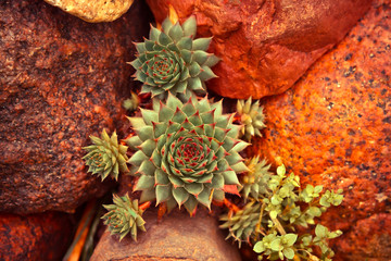 Succulent plant growing among desert stones