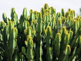 Kanaren-Wolfsmilch (Euphorbia canariensis)