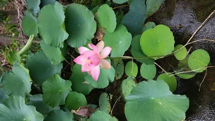 Flor de Loto de la India-Trinidad and Tobago
