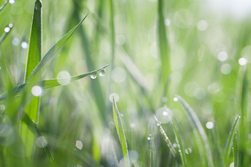 Grass covered with dew