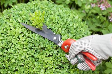 Buchs schneiden (Buxus sempervirens)