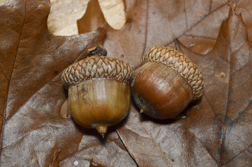 2 Acorns Couple with Oak Leaves