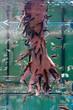Kangalfische mit einer Hand im Wasserbecken