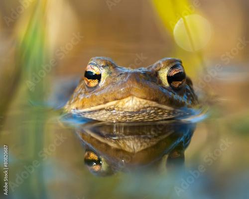 Fotobehang Kikker Macro shot of a toad in water