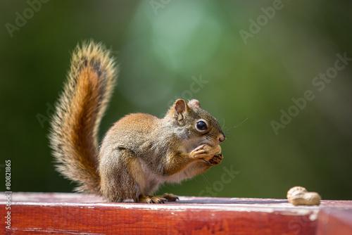 Plexiglas Eekhoorn Squirrel and a peanut