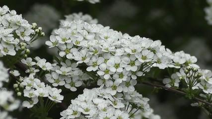 Beautiful Spring Blossoms of Pagan Bridals Wreath