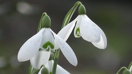 Spring Snowdrop Flowers up Close