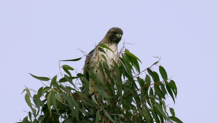 Red Tail Hawk On Tree