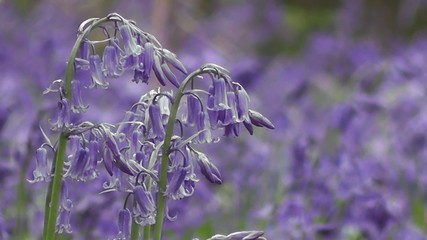 Close-up of Spring Bluebells in an English Woodland