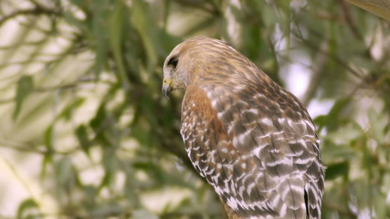 Red Shouldered Hawk Close Up