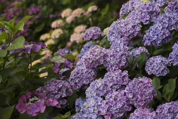 アジサイの花 満開