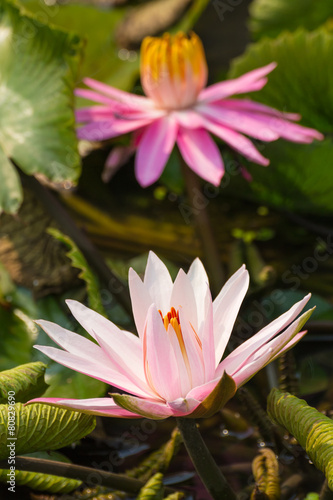 Foto Spatwand Water planten pink lotus with the leaf and other lotus background