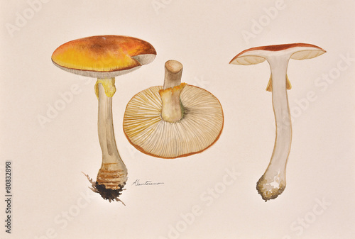 Original painting of mushrooms that grow in Romanian forest - 80832898