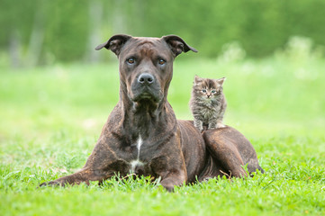 American staffordshire terrier with little kitten on its back