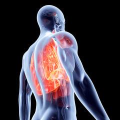 Internal Organs - Lungs.