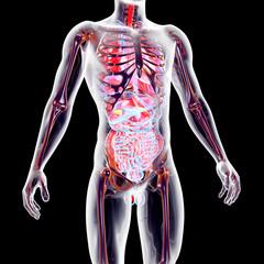 Internal Organs....