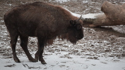 Big bison slides on ice, then turns and leaves