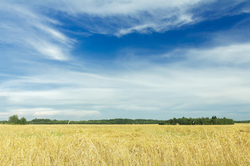 White cirrus clouds on azure sky above yellow rye field