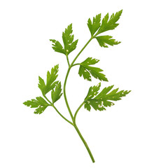 Parsley aka cilantro isolated