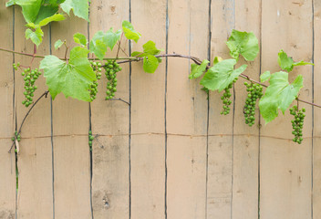 Cultivated grape woody vines clusters with unripe fruits