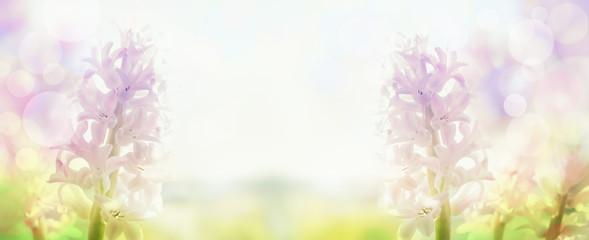 pink hyacinths  in back light , banner for website