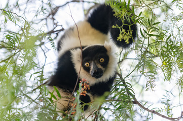 Black-and-white ruffed lemur inverted on a tree eating.