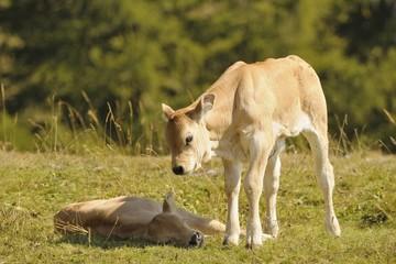 2 calves on a meadow
