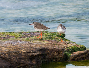 Two Common Redshanks