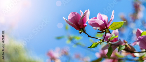 magnolia tree blossom - 80843814