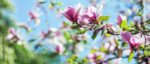 Deurstickers Magnolia magnolia tree blossom