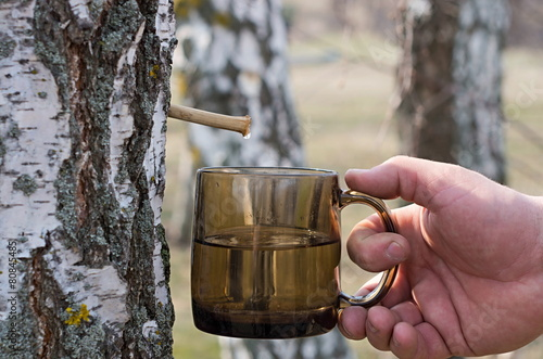 production of birch sap in spring