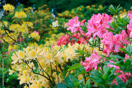 Papiers peints Azalea Blossoming of pink and yellow rhododendrons and azaleas
