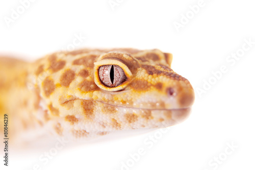 Staande foto Luipaard Leopard Gecko on a white background