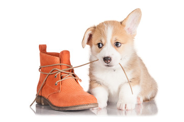 Pembroke welsh corgi puppy playing with a shoe