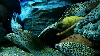 Dotted pattern Moray eels hiding in the pot underwater