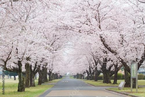 Aluminium Kersen 桜並木