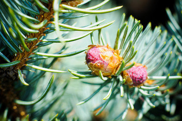 few buds at the branch of the blue spruce